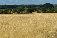 Gerstenfeld (rieblinga) Tags: feld landschaft getreide gerste