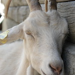 another-goat-at-lindarets