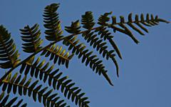 DSCI3668 ('cosmicgirl1960' NEW CANON CAMERA) Tags: blue sky fern green nature leaf frond devon yabbadabbadoo mothecombe