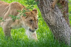 Stalking Young Lioness (helenehoffman) Tags: africa animal female cat feline wildlife lion bigcat carnivore yearling sandiegozoosafaripark