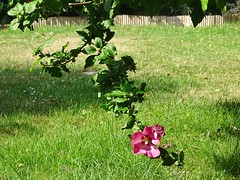 Hibiscus 13 (@bodil) Tags: pink flowers france fleurs hibiscus normandie