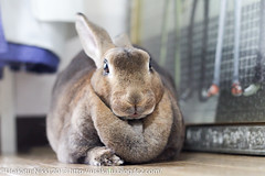 IMG_8761-29 (Rabbit's Album) Tags: pet cute rabbit bunny animals  choco   minirex  ef50mmf18   canonx7i x7i