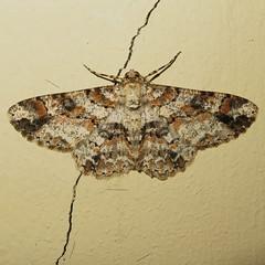 Moths of Ecuador (Over 6 million views!) Tags: insect ecuador moth idme