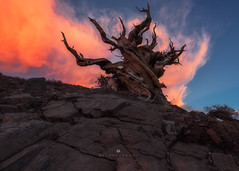 Wood & Flame (Michael Bandy) Tags: sunset sky storm mountains tree nature clouds landscape ancient nikon rocks whitemountains easternsierras schulmangrove bristlecones