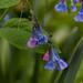 mertensia virginica, oneplant, ouryard, jdy121 XX201505017271.jpg