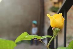 Yellow Rose (maikrofunky) Tags: flowers plant flores flower planta hoja rose yellow 35mm kid god flor rosa patio yellowrose niño sunnyday jardín oneshot espinas elprat elpratdellobregat notreatment godisreal canon600d