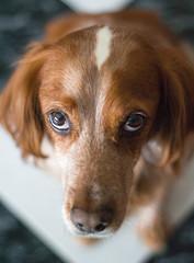 Portrait XVI. (pepesanmartn) Tags: sherlock dog pet friend portrait animal hair redhead brown eyes looking up good nose home morning light breton setter floor white 50mm