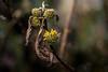 Every End is a new Beginning (hploeckl) Tags: end newbeginning pentacon projectorlens flowers buds firstbuds december hope beginning new life yellow nikon d750