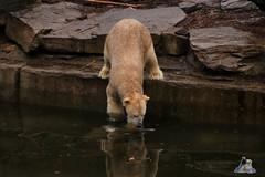 Tierpark Berlin 26.12.2017 051 (Fruehlingsstern) Tags: eisbär polarbear wolodja rothund nashorn stachelschwein tierparkberlin canoneos750 tamron16300