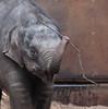 asiatic elephant Sanuk artis JN6A0595 (j.a.kok) Tags: olifant elephant elephasmaximus aziatischeolifant asiaticelephant sanuk herbifor azie asia mammal zoogdier