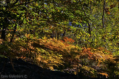 autunno, autumn (paolo.gislimberti) Tags: wood bosco forest foresta alberi trees sottobosco undergrowth felci ferns autumnalcolors coloriautunnali