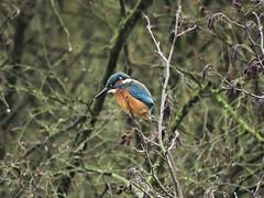 Kingfisher (deannewildsmith) Tags: earthnaturelife fradleynaturecentre fradley kingfisher