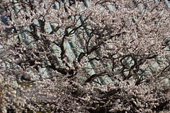 jap.0056 (Peter Hessel) Tags: 1a geo:lat=3570760307 geo:lon=13976773667 geotagged japan jpn plum plumblossom prunusmume shinto sugawara sugawaranomichizane tokyo toukyouto ueno ume yushimatenmangu