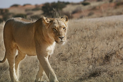 On the move (crafty1tutu (Ann)) Tags: travel holiday 2016 southafrica africa african kgalagaditransfrontierpark lion female free roamingfree wild inthewild carnivore crafty1tutu canon5dmkiii ef100400mmf4556lisiiusm anncameron animal naturescarousel naturethroughthelens ngc