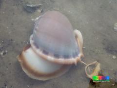 Grey bonnet snail (Phalium glaucum) (wildsingapore) Tags: phalium glaucum cassidae gastropoda mollusca chekjawa pulau ubin singapore marine coastal intertidal seashore marinelife nature wildlife underwater wildsingapore