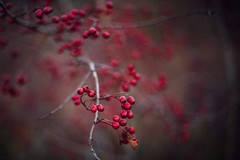 Red (katarri) Tags: nikon nikond750 d750 nikkor 50mm 14 nature outdoor outside winter red december countryside wood woods forest brown beige grey black plant plants tree trees poland polska hawthorn