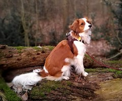 Amy im Wald / Amy in the forest (Adam Riese) Tags: amy amanda vomelsebachtal kooikerhondje hund dog