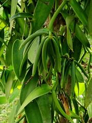 Vanilla, La Digue (ngari.norway) Tags: seychelles travel ngari photography photos indianocean ladigueisland