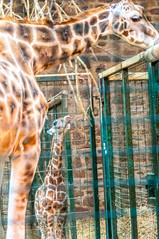 Baby Rothschild's Giraffe (Tony Shertila) Tags: 20170103121938 england gbr unitedkingdom uptonbychester wervin geo:lat=5322679610 geo:lon=288210869 geotagged europe britain chester chesterzoo giraffe mammal animal calf baby zoo indoor