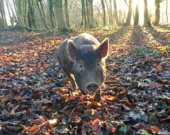She smiles as she comes (zanypurr) Tags: pig piglet woods morning sun rays odc smile