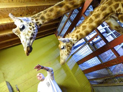 South Lakes Zoo - rothschild giraffe (3)
