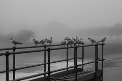 Birds in the mist: Blackweir Bridge, Cardiff (Dai Lygad) Tags: black white blackandwhite bw bandw noiretblanc cardiff pontcanna fields blackweir rivertaff water birds misty weather wales stock winter february canon camera 550d eos sigmalens jeremysegrott flickr blackweirbridge photos photographs photography pictures images geotagged bleak murky grey amateurphotography dailygad caerdydd cymru britain british forwebsite forwebpage forblog forpowerpoint forpresentation