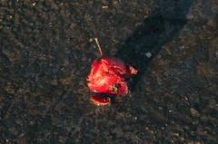 Zerquetschte Hagebutte in einer Pfütze in Dannewerk