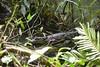 Spectacled Caiman (amdubois01) Tags: caiman spectacledcaiman caimancrocodilus herpetology costarica heredia crocodilian
