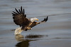 1st Bald Eagle Image of 2017 001 (TroyMarcyPhotography.com) Tags: 11windchill americanbaldeagle canon400mmf56l canon7d illinois iowa mississippiriverbaldeagles2017 winter birds cold nature wildlife wwwtroymarcyphotographycom