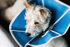 Down.... but not out! (christilou1) Tags: jr jack russell terrier cone coney mastin sony a7rii fe85 14 gm