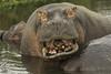 Hippopotamus or Hippo  Hipopótamo Común  (Hippopotamus amphibius) (Christian Sanchez Photography) Tags: hippo africa africawildlife africabirds sudafrica southafricabirds wildanimal waterbirds wildphoto wildshake wildlife