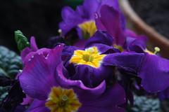 07-IMG_8523 (hemingwayfoto) Tags: blühen blüte blume flora frühblüher frühling frühlingsprimel garten gartenblume gewächs natur pflanze primel primulaveris