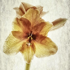 Red Amaryllis (jgokoepke) Tags: red amaryllis hdr mhdr transparency flower flowers
