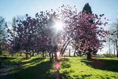 H501_0539 (bandashing) Tags: cherryblossom starburst plants tree flowers lush green bluesky blue sky spring springtime nature outdoors sylhet manchester england bangladesh bandashing socialdocumentary aoa akhtarowaisahmed