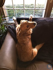 Lady in Waiting (richchapmanphoto) Tags: algonquin dog goldenretriever richchapmanphoto richchapmanphotographers richchapman richchapmancreative chapman illinois window paws lookingback couch sofa iphone usa