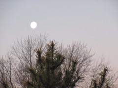 ** Lune du matin ** (Impatience_1 ( Peu...ou moins présente... )) Tags: lune moon pleinelune fullmoon sky ciel arbre tree m impatience paysage supershot coth c saveearth coth5