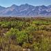 Saguaro Cactus with a Mountain Backdrop (Saguaro National Park)