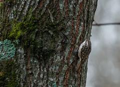 Grimpereau des jardins (JeanJoachim) Tags: grimpereaudesjardins certhiabrachydactyla shorttoedtreecreeper passeriformes certhiidae oiseau bird vogel aves uccello fågel fugl pássaro バード lintu птица ptak pentaxk5iis smcpentaxda300mmf4edifsdm gartenbaumläufer