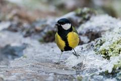 great tit (a3aanw) Tags: sneeuw birds ijs vogels nikon 200500mm winter djfotografie