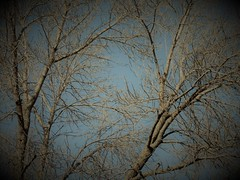 Before the snow (navejo) Tags: montreal quebec canada tree sky fall autumn 2016 bare branches beforethesnow navejo