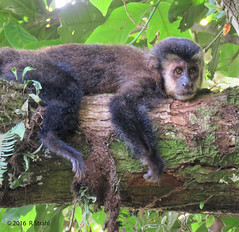 Hanging Out in Iguazu (by Richard) (cheryl strahl) Tags: southamerica argentina iguazufalls iguazunationalpark monkey capuchinmonkey tree hanging watching