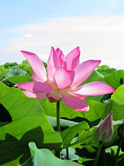 summer beauty (oneroadlucky) Tags: nature plant flower pink lotus waterlily