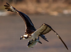 IMG_6555A It's almost time! (cmsheehyjr) Tags: cmsheehy colemansheehy nature wildlife bird osprey hawk fishhawk jamesriver richmond virginia pandionhalieatus
