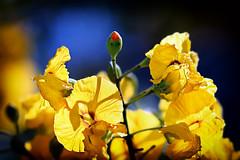 A FLOWERING TREE -  (Floracin de un rbol) (Slawek A7) Tags: flowers blue light red espaa plants naturaleza sun flores color tree planta sol nature colors yellow contrast canon wonderful contraluz garden word photography photo spain plantas europe raw foto shadows shot bokeh flor jardin 85mm explore transparency rbol land usm transparent espagne floraandfauna kwiaty brillante jardn soce fotografa profundidaddecampo airelibre transparencia backlihgt hiszpania swiatlo slonce ef85mm ef85mmf18usm floracin 700d canoneos700d slaweka7