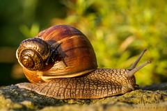 piggyback snail (SelfMd Photography) Tags: nature garden snail sigma piggyback schnecke weinbergschnecke schneckenhaus schleim fhler helixpomatia sigma70mmf28exdgmakro sonya65 selfmdphotography selfmaedphotography