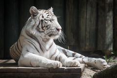 2015-05-23-11h07m03.BL7R8227 (A.J. Haverkamp) Tags: zoo czechrepublic whitetiger dierentuin liberec tsjechi tsjechie wittetijger canonef100400mmf4556lisusmlens liberecregion httpwwwzoolibereccz