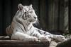 2015-05-23-11h07m03.BL7R8227 (A.J. Haverkamp) Tags: zoo czechrepublic whitetiger dierentuin liberec tsjechië tsjechie wittetijger canonef100400mmf4556lisusmlens liberecregion httpwwwzoolibereccz
