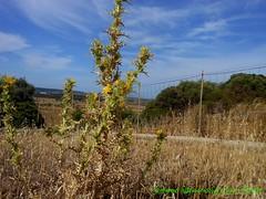 Scolymus hispanicus (gino cherchi) Tags: sardegna italia olmedo scolymushispanicus cardogiallo cardognacomune ginocherchi