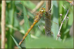 Norfolk Hawker (image 2 of 3) (Full Moon Images) Tags: macro nature insect dragonfly wildlife norfolk reserve hawker rspb shrumpshaw