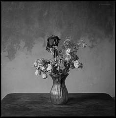 Verwelkte Rosen (Konrad Winkler) Tags: 6x6 stillleben blumen rosen getrocknet mittelformat hasselblad503cx adoxpan25